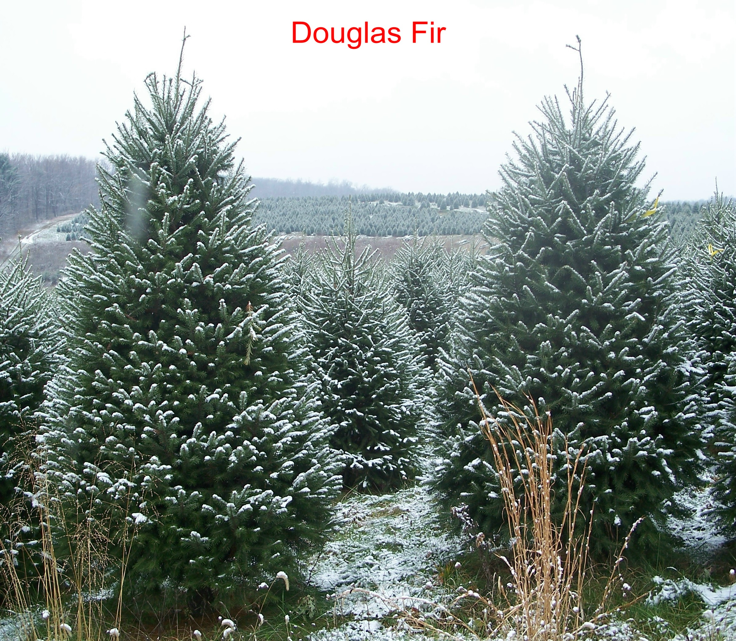 david douglas and the douglas fir Sourced from evergreen fir trees in new zealand, douglas fir oil possesses a unique chemical composition that gives it a purifying, uplifting, refreshing fragrance.